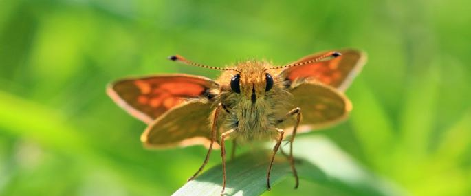 Large Skipper butterfly - Vicky Nall